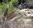 Netzgiraffe giraffe