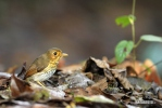 Ockerbrust-Ameisenpitta