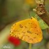 Orange-Gebänderter Schwefelfalter