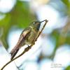 Schuppenbauch-Höschenkolibri