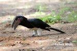 Trompeterhornvogel