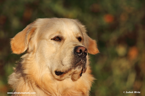 Golden Retriever (Canis lupus familiaris)
