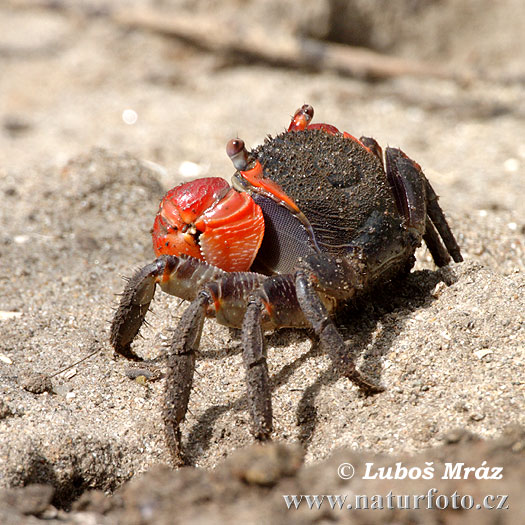 Krabbe (Crab sp.)