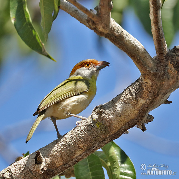 Rostbrauenvireo (Cyclarhis gujanensis)