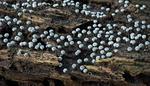 Physarum nutans