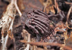 Stemonitis herbatica