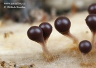 Trichia decipiens var. olivacea