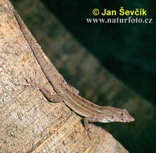 Anole (Norops homolechis)