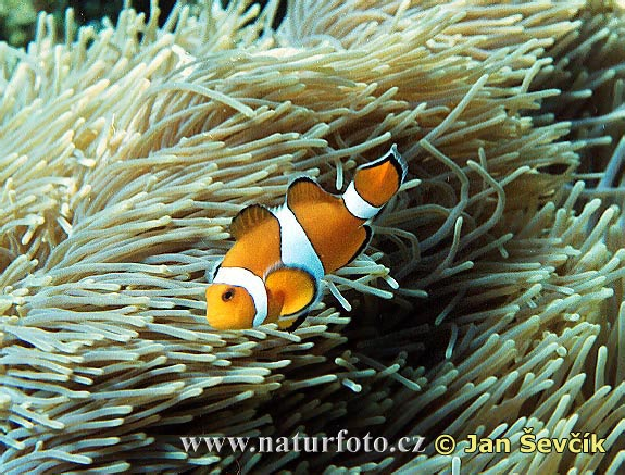 Clownfisch (Amphiprion ocellaris)