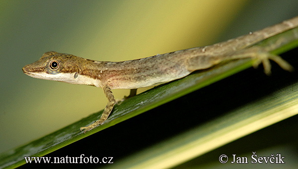 Echse (Anolis limnifrons)