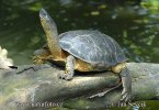 Bauchstreifen-Erdschildkröte