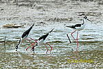Blach necked Stilt