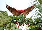 Guacamayo Roja