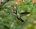 Kubasmaragdkolibri