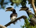 Malabar Hornvogel
