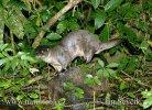 Neotropische Otter