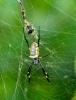 Nephila spinne