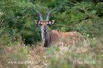 Riesen-Elenantilope
