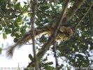 Riesenhörnchen