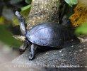 Schwarzbauch-Erdschildkröte