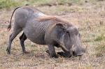 Warsenshwein