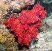 Weiche Koralle