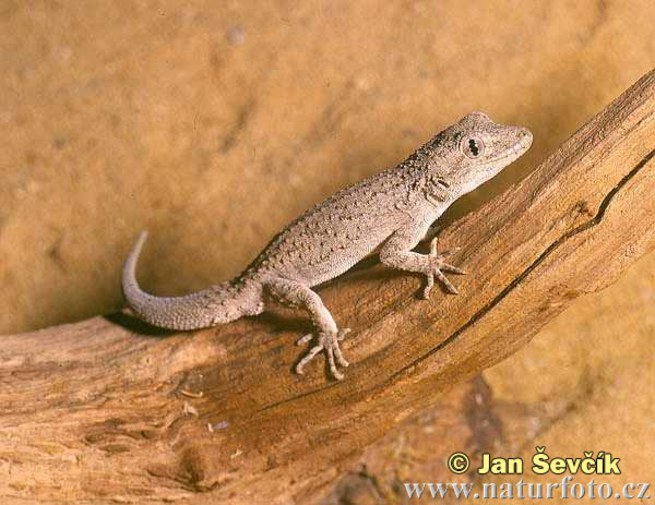 Gecko (Cyrtopodion russowii)