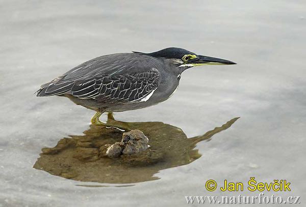 Mangrove reiher Bilder, Mangrove reiher Fotos | NaturFoto