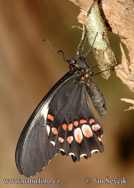 Schmetterling (Papilio anchisiades)