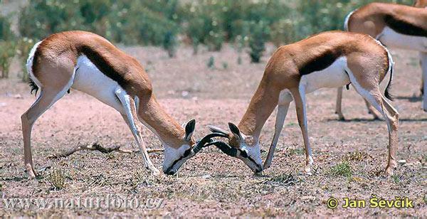 http://www.naturfoto-cz.de/bilder/sevcik/springbock--antilopa-skakava.jpg