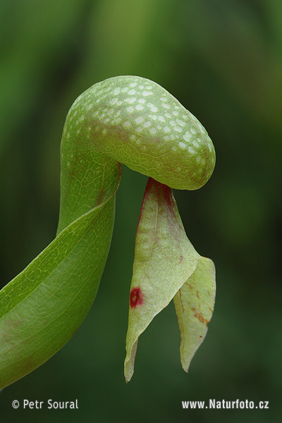 Kobralilie - Draculapflanze (Darlingtonia californica)