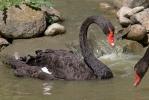 Schwarzschwan Trauerschwan