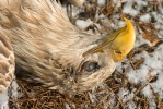 Vergiftet Seeadler