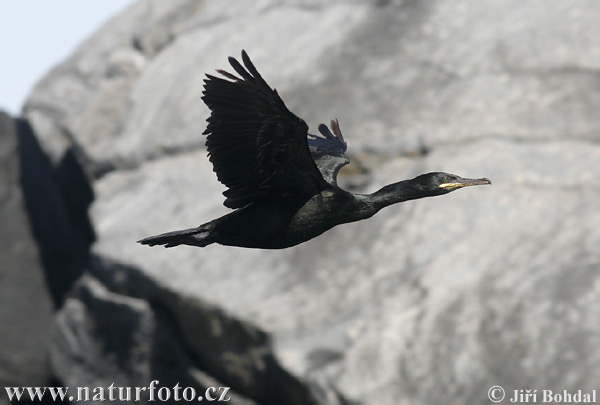 Krähenscharbe (Phalacrocorax aristotelis)