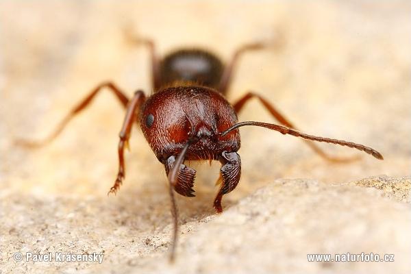 Фото муравьев.