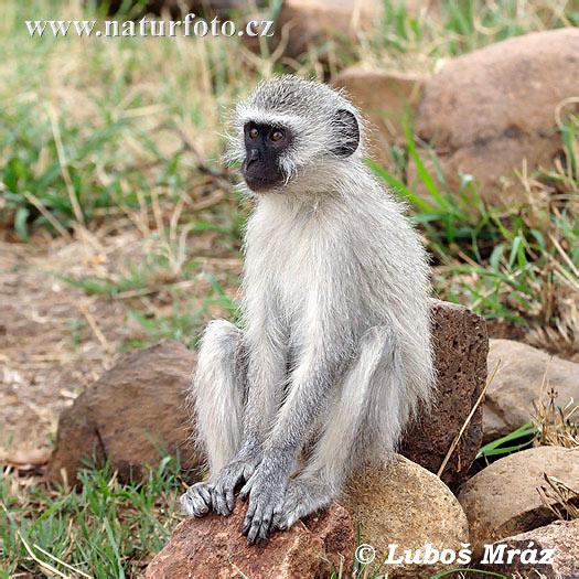 Apa Bedanya Monyet Dan Kera