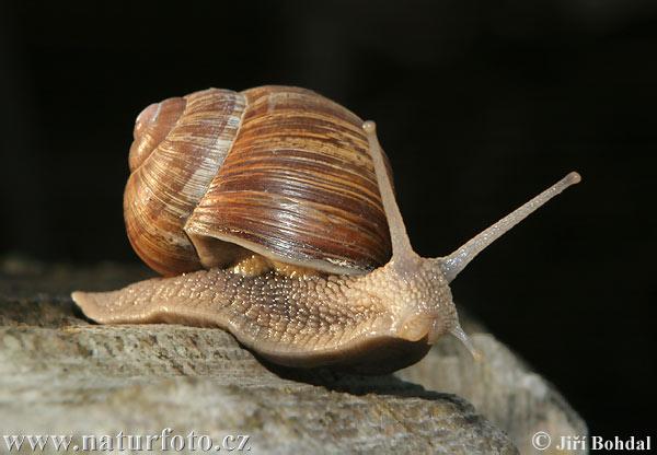 The Roman Snail